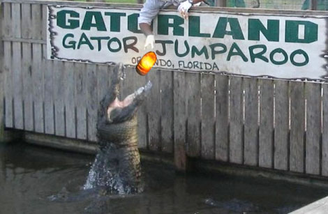 Gatorland Gator Jumparoo eating sankara stones from Indiana Jones and the Temple of Doom