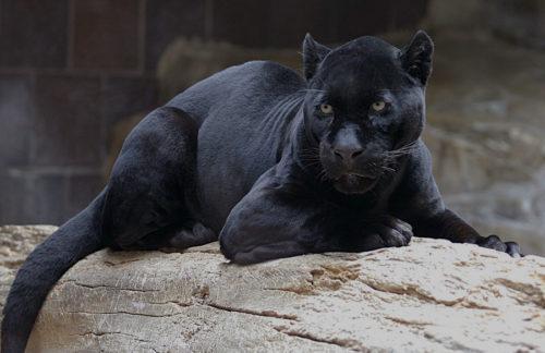 The Black Panther walk-thru exhibit at Disney's Animal Kingdom in the real life Wakanda land