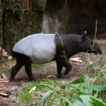 Malaysian Tapir at Maharajah Jungle Trek